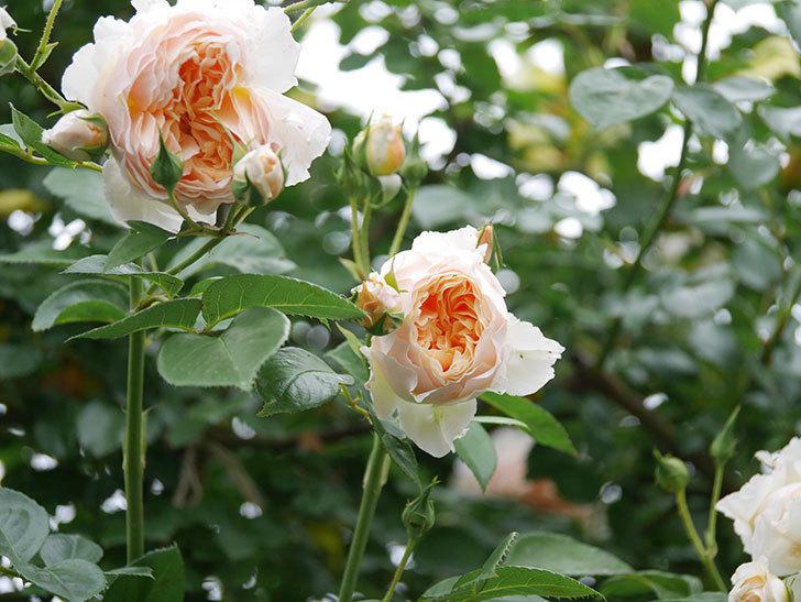 ジンジャー・シラバブ(Ginger Syllabub)の花が満開になった。ツルバラ。2020年-012.jpg
