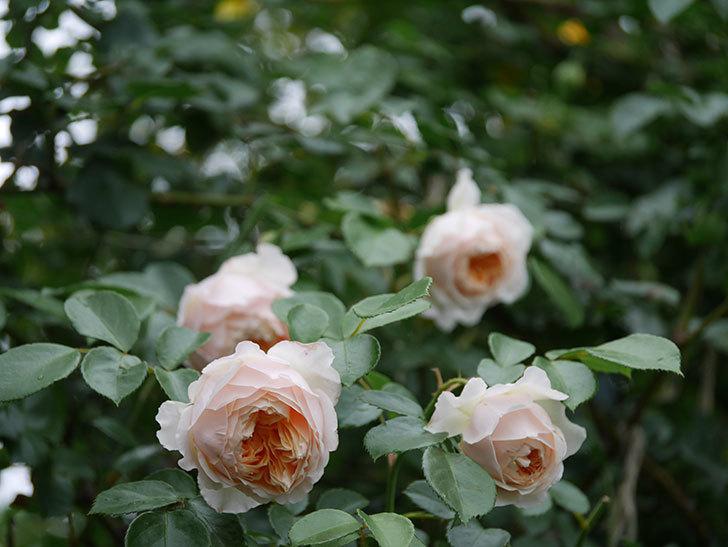 ジンジャー・シラバブ(Ginger Syllabub)の花が満開になった。ツルバラ。2020年-013.jpg