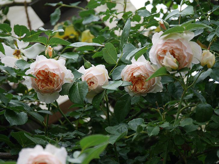 ジンジャー・シラバブ(Ginger Syllabub)の花が満開になった。ツルバラ。2020年-014.jpg