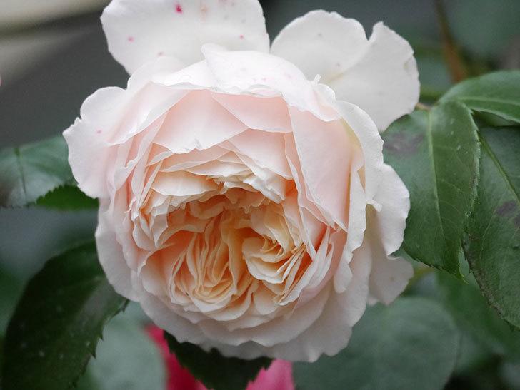 ジンジャー・シラバブ(Ginger Syllabub)の花が満開になった。ツルバラ。2020年-015.jpg