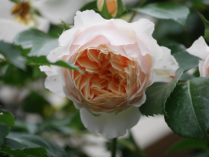 ジンジャー・シラバブ(Ginger Syllabub)の花が満開になった。ツルバラ。2020年-016.jpg