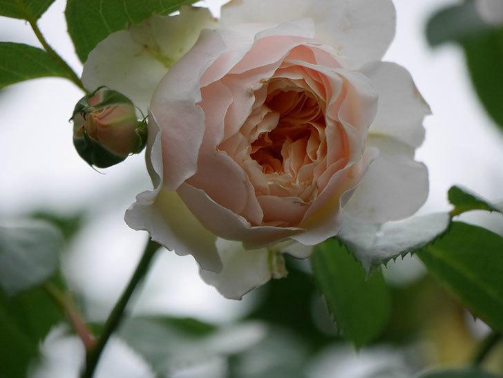 ジンジャー・シラバブ(Ginger Syllabub)の花が満開になった。ツルバラ。2020年-017.jpg