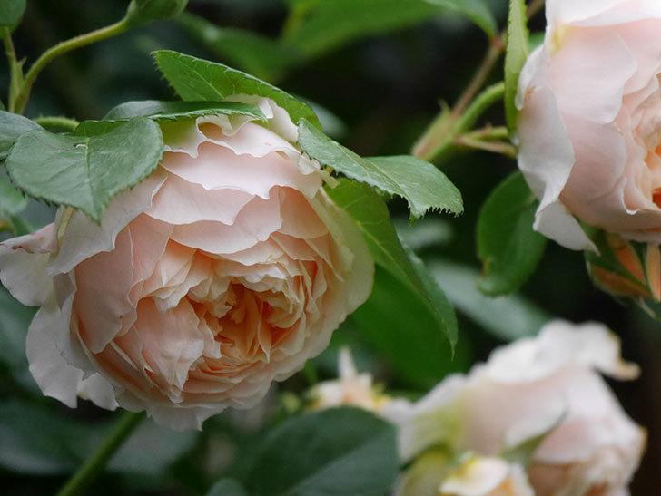 ジンジャー・シラバブ(Ginger Syllabub)の花が満開になった。ツルバラ。2020年-018.jpg