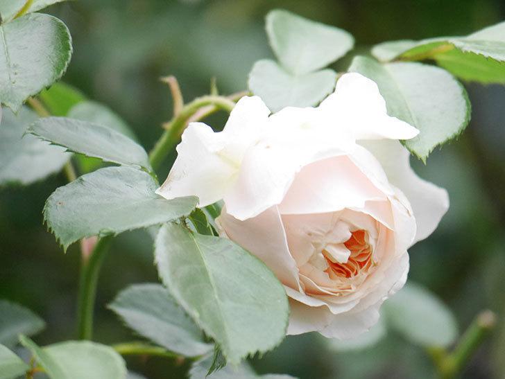 ジンジャー・シラバブ(Ginger Syllabub)の花が満開になった。ツルバラ。2020年-019.jpg