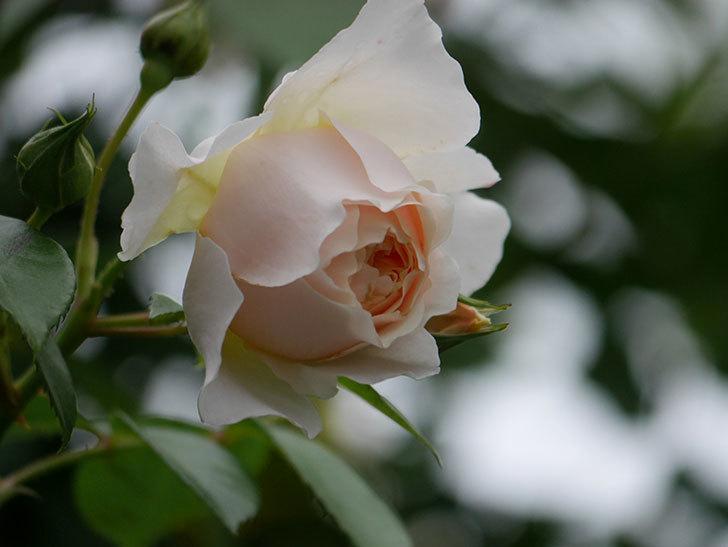 ジンジャー・シラバブ(Ginger Syllabub)の花が満開になった。ツルバラ。2020年-020.jpg