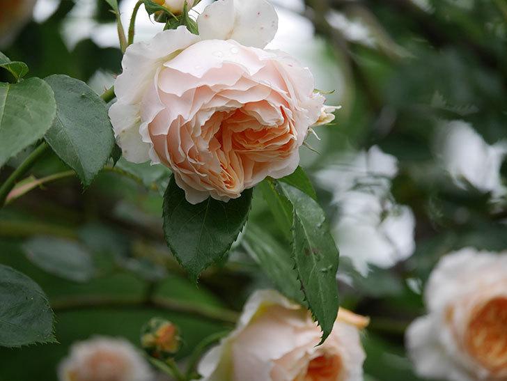 ジンジャー・シラバブ(Ginger Syllabub)の花が満開になった。ツルバラ。2020年-021.jpg