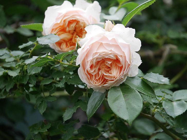 ジンジャー・シラバブ(Ginger Syllabub)の花が満開になった。ツルバラ。2020年-022.jpg
