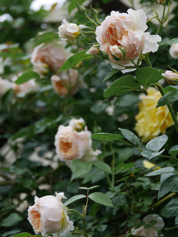 ジンジャー・シラバブ(Ginger Syllabub)の花が満開になった。ツルバラ。2020年-023.jpg
