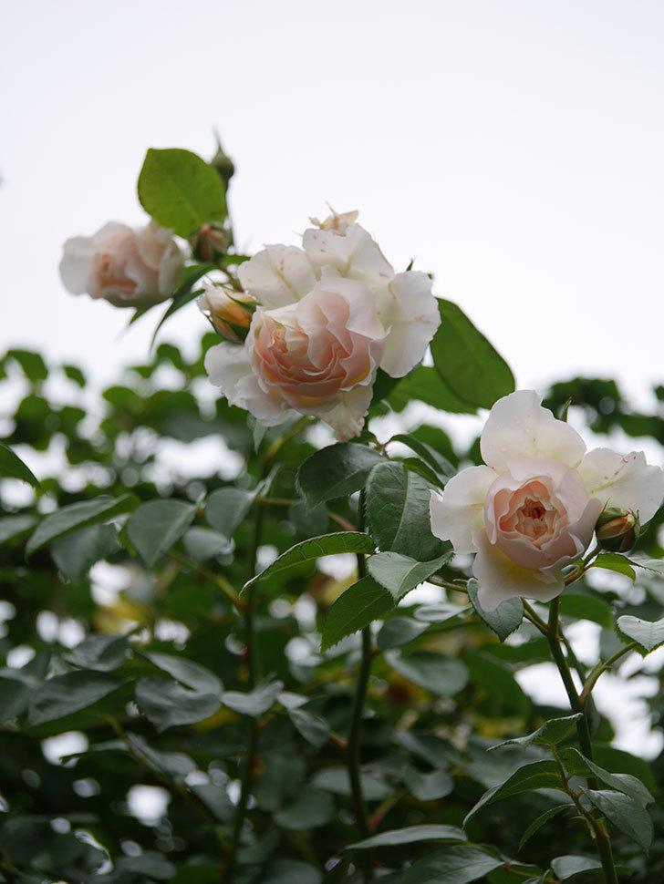 ジンジャー・シラバブ(Ginger Syllabub)の花が満開になった。ツルバラ。2020年-024.jpg