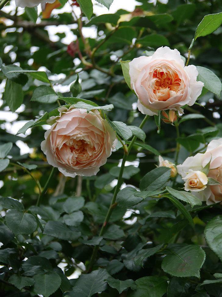 ジンジャー・シラバブ(Ginger Syllabub)の花が満開になった。ツルバラ。2020年-025.jpg