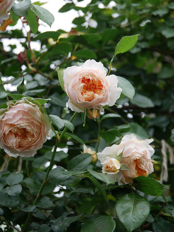 ジンジャー・シラバブ(Ginger Syllabub)の花が満開になった。ツルバラ。2020年-026.jpg