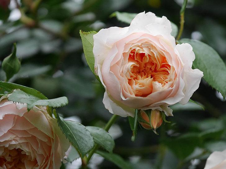 ジンジャー・シラバブ(Ginger Syllabub)の花が満開になった。ツルバラ。2020年-028.jpg