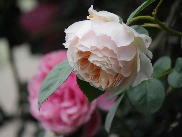 ジンジャー・シラバブ(Ginger Syllabub)の花が満開になった。ツルバラ。2020年-030.jpg