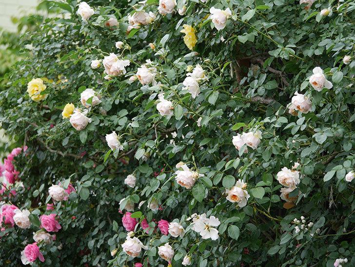 ジンジャー・シラバブ(Ginger Syllabub)の花が満開になった。ツルバラ。2020年-032.jpg