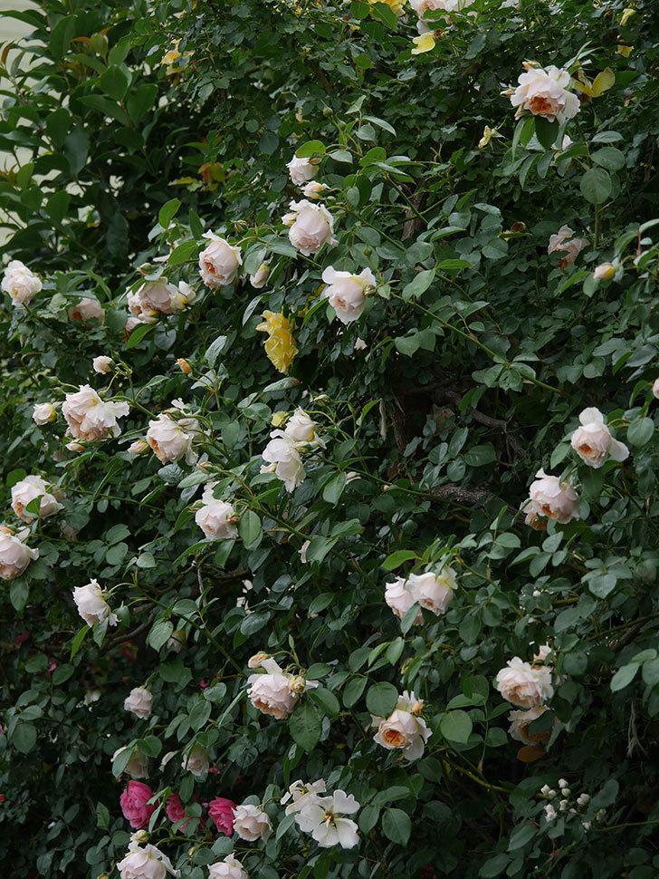 ジンジャー・シラバブ(Ginger Syllabub)の花が満開になった。ツルバラ。2020年-033.jpg
