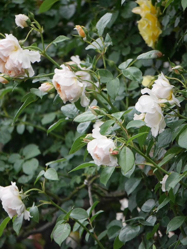ジンジャー・シラバブ(Ginger Syllabub)の花が満開になった。ツルバラ。2020年-034.jpg