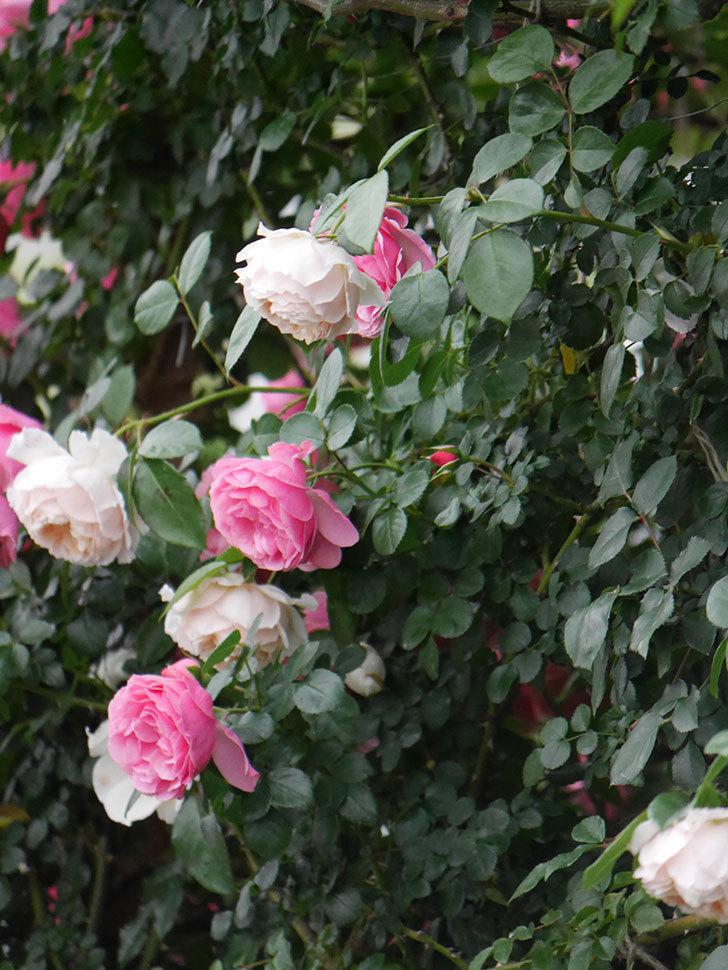 ジンジャー・シラバブ(Ginger Syllabub)の花が満開になった。ツルバラ。2020年-035.jpg