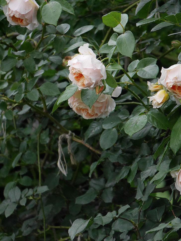 ジンジャー・シラバブ(Ginger Syllabub)の花が満開になった。ツルバラ。2020年-036.jpg