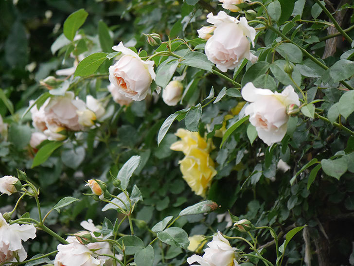 ジンジャー・シラバブ(Ginger Syllabub)の花が満開になった。ツルバラ。2020年-037.jpg