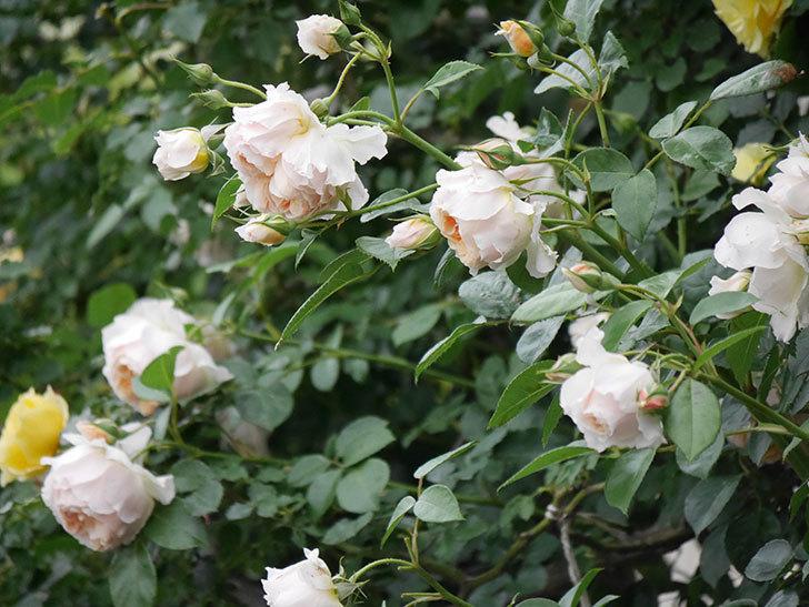 ジンジャー・シラバブ(Ginger Syllabub)の花が満開になった。ツルバラ。2020年-038.jpg