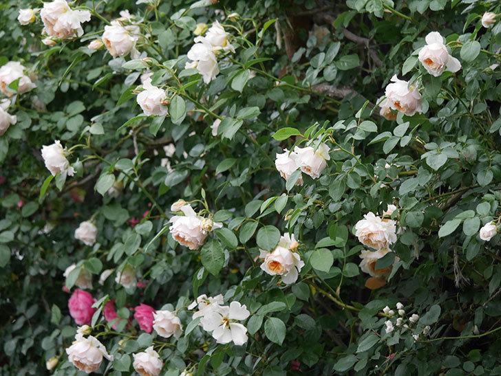 ジンジャー・シラバブ(Ginger Syllabub)の花が満開になった。ツルバラ。2020年-039.jpg