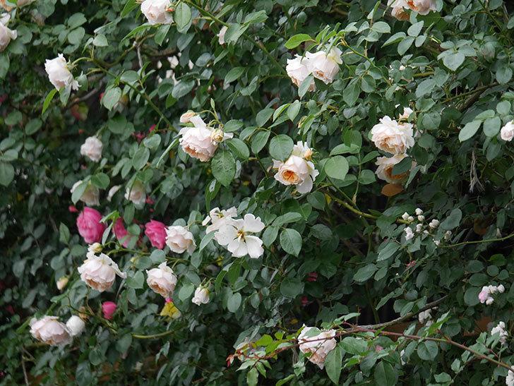 ジンジャー・シラバブ(Ginger Syllabub)の花が満開になった。ツルバラ。2020年-040.jpg