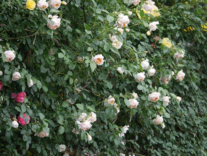 ジンジャー・シラバブ(Ginger Syllabub)の花が満開になった。ツルバラ。2020年-041.jpg