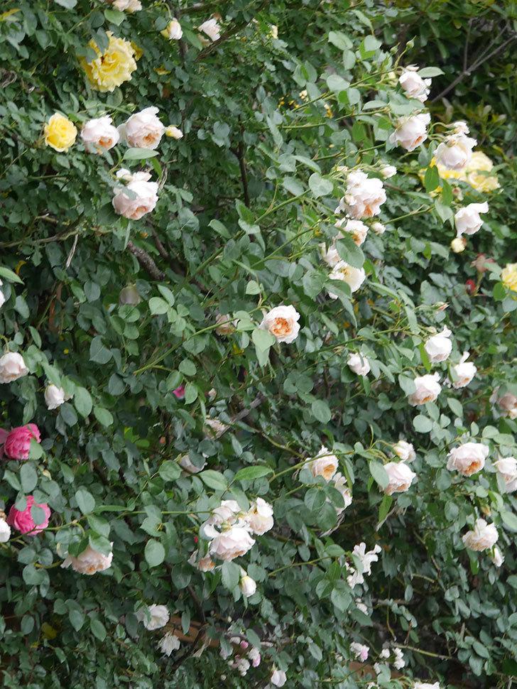 ジンジャー・シラバブ(Ginger Syllabub)の花が満開になった。ツルバラ。2020年-042.jpg
