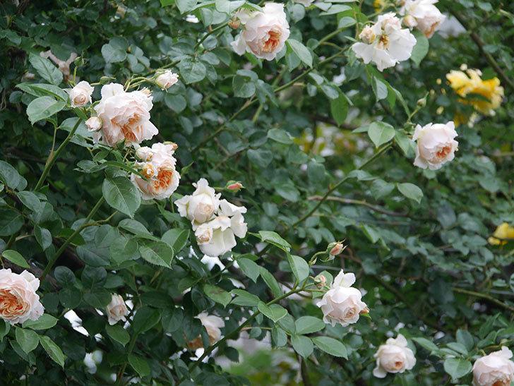 ジンジャー・シラバブ(Ginger Syllabub)の花が満開になった。ツルバラ。2020年-043.jpg