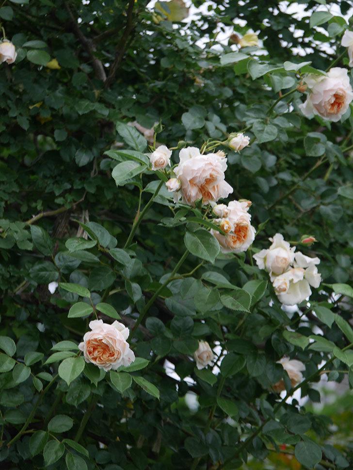 ジンジャー・シラバブ(Ginger Syllabub)の花が満開になった。ツルバラ。2020年-044.jpg