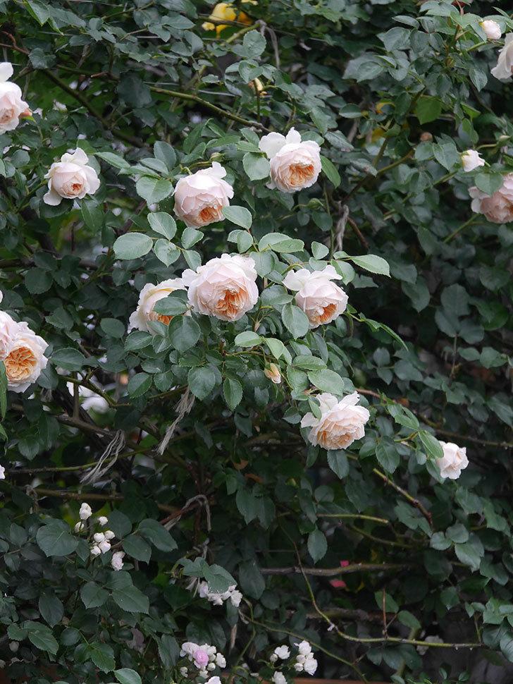 ジンジャー・シラバブ(Ginger Syllabub)の花が満開になった。ツルバラ。2020年-045.jpg