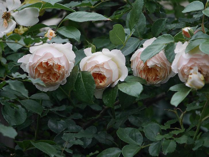ジンジャー・シラバブ(Ginger Syllabub)の花が満開になった。ツルバラ。2020年-046.jpg