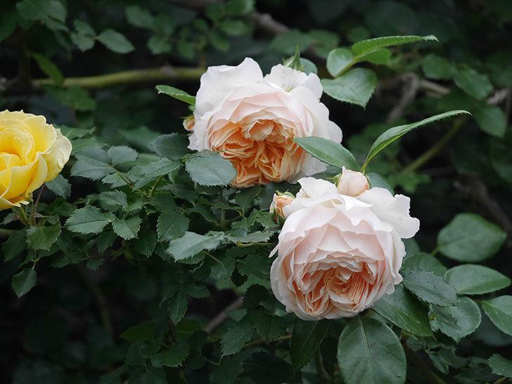 ジンジャー・シラバブ(Ginger Syllabub)の花が満開になった。ツルバラ。2020年-047.jpg