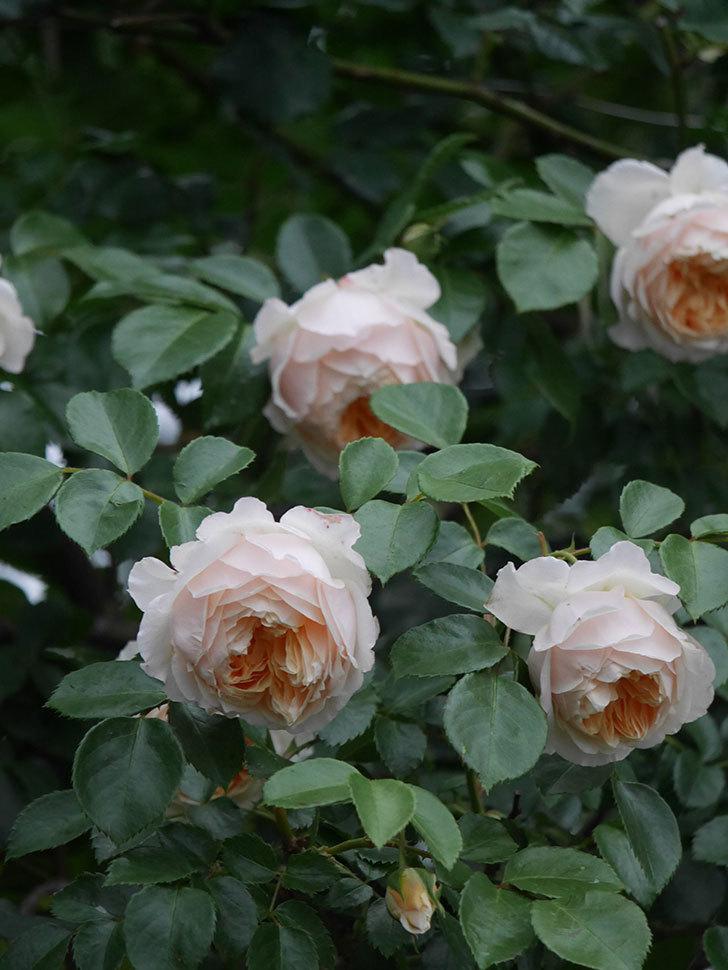 ジンジャー・シラバブ(Ginger Syllabub)の花が満開になった。ツルバラ。2020年-049.jpg