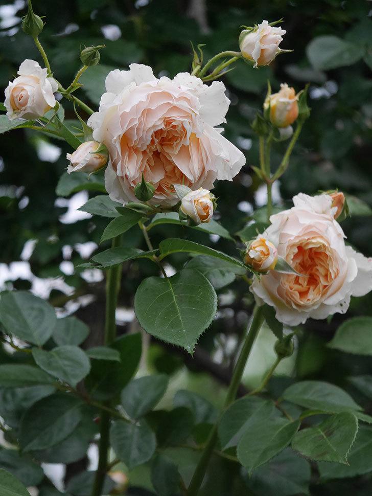 ジンジャー・シラバブ(Ginger Syllabub)の花が満開になった。ツルバラ。2020年-050.jpg