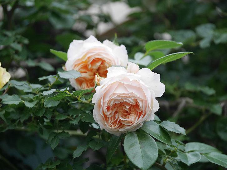 ジンジャー・シラバブ(Ginger Syllabub)の花が満開になった。ツルバラ。2020年-051.jpg
