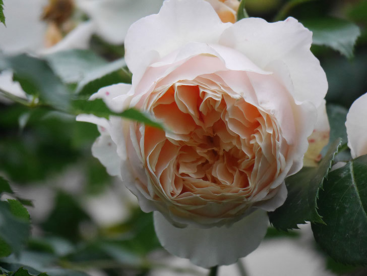 ジンジャー・シラバブ(Ginger Syllabub)の花が満開になった。ツルバラ。2020年-053.jpg