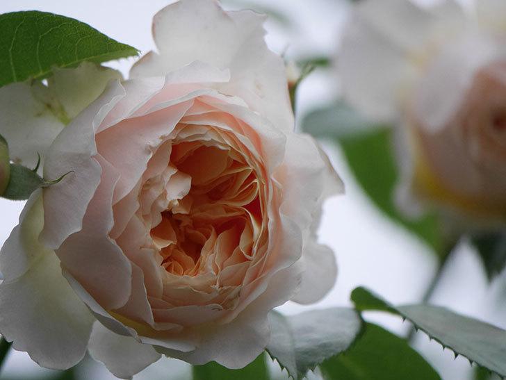 ジンジャー・シラバブ(Ginger Syllabub)の花が満開になった。ツルバラ。2020年-054.jpg
