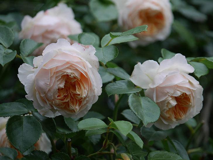 ジンジャー・シラバブ(Ginger Syllabub)の花が満開になった。ツルバラ。2020年-055.jpg