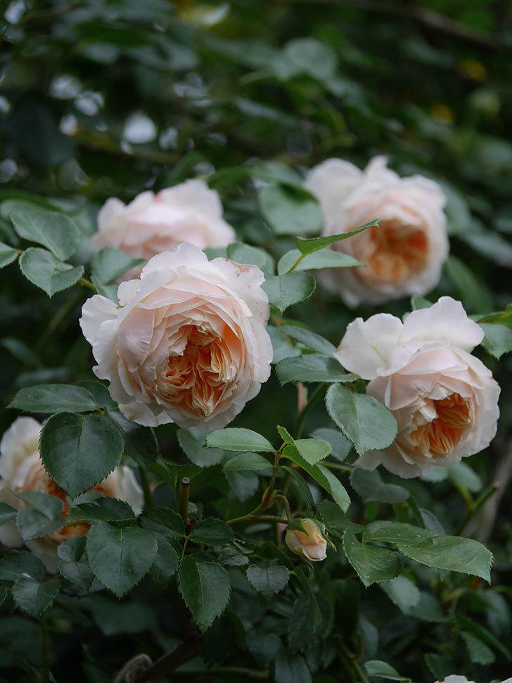 ジンジャー・シラバブ(Ginger Syllabub)の花が満開になった。ツルバラ。2020年-057.jpg
