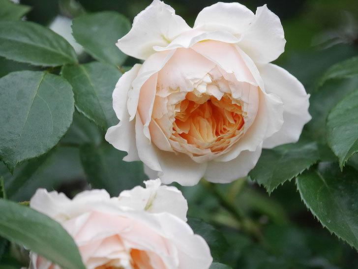 ジンジャー・シラバブ(Ginger Syllabub)の花が満開になった。ツルバラ。2020年-058.jpg