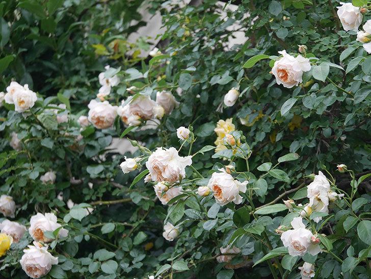 ジンジャー・シラバブ(Ginger Syllabub)の花が満開になった。ツルバラ。2020年-060.jpg
