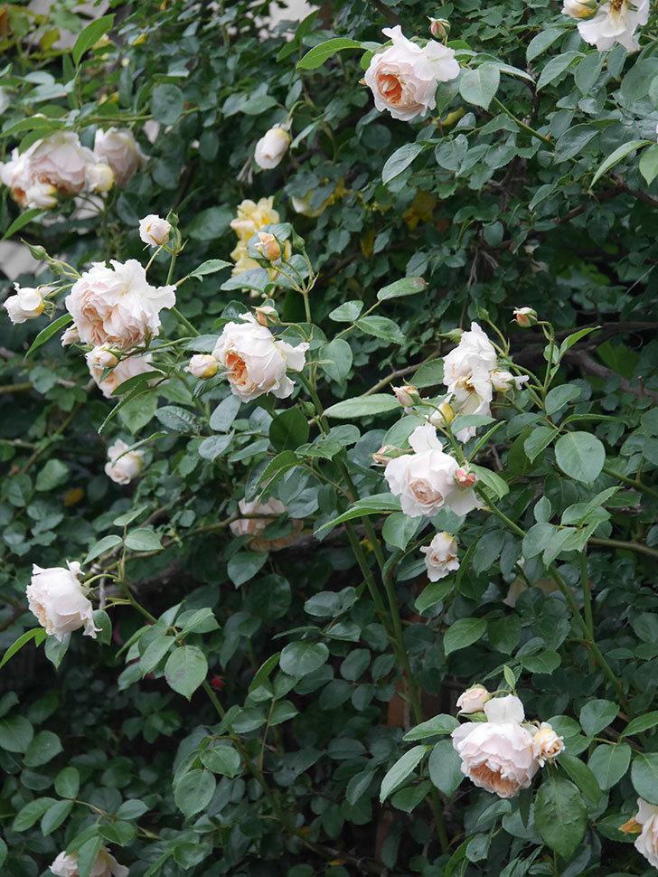 ジンジャー・シラバブ(Ginger Syllabub)の花が満開になった。ツルバラ。2020年-061.jpg