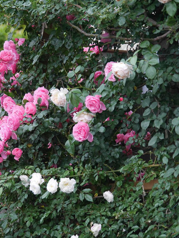 ジンジャー・シラバブ(Ginger Syllabub)の花が満開になった。ツルバラ。2020年-062.jpg