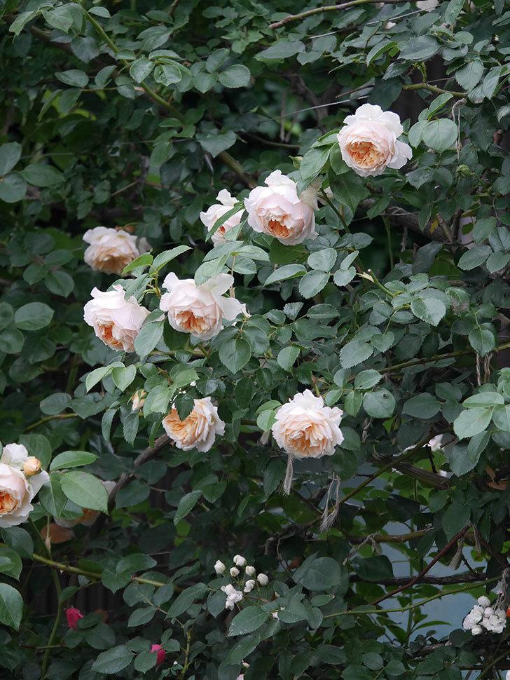ジンジャー・シラバブ(Ginger Syllabub)の花が満開になった。ツルバラ。2020年-063.jpg