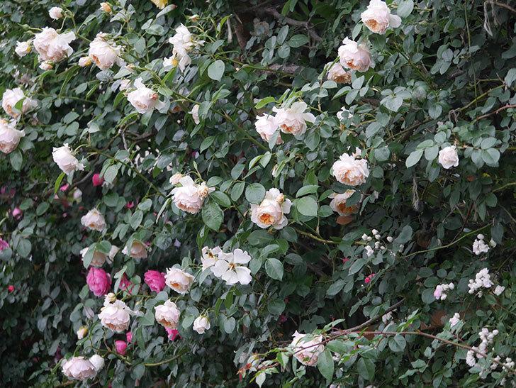 ジンジャー・シラバブ(Ginger Syllabub)の花が満開になった。ツルバラ。2020年-064.jpg