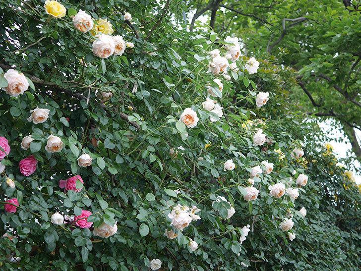 ジンジャー・シラバブ(Ginger Syllabub)の花が満開になった。ツルバラ。2020年-065.jpg