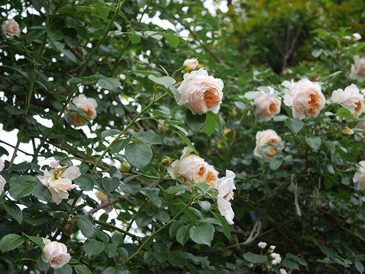 ジンジャー・シラバブ(Ginger Syllabub)の花が満開になった。ツルバラ。2020年-066.jpg