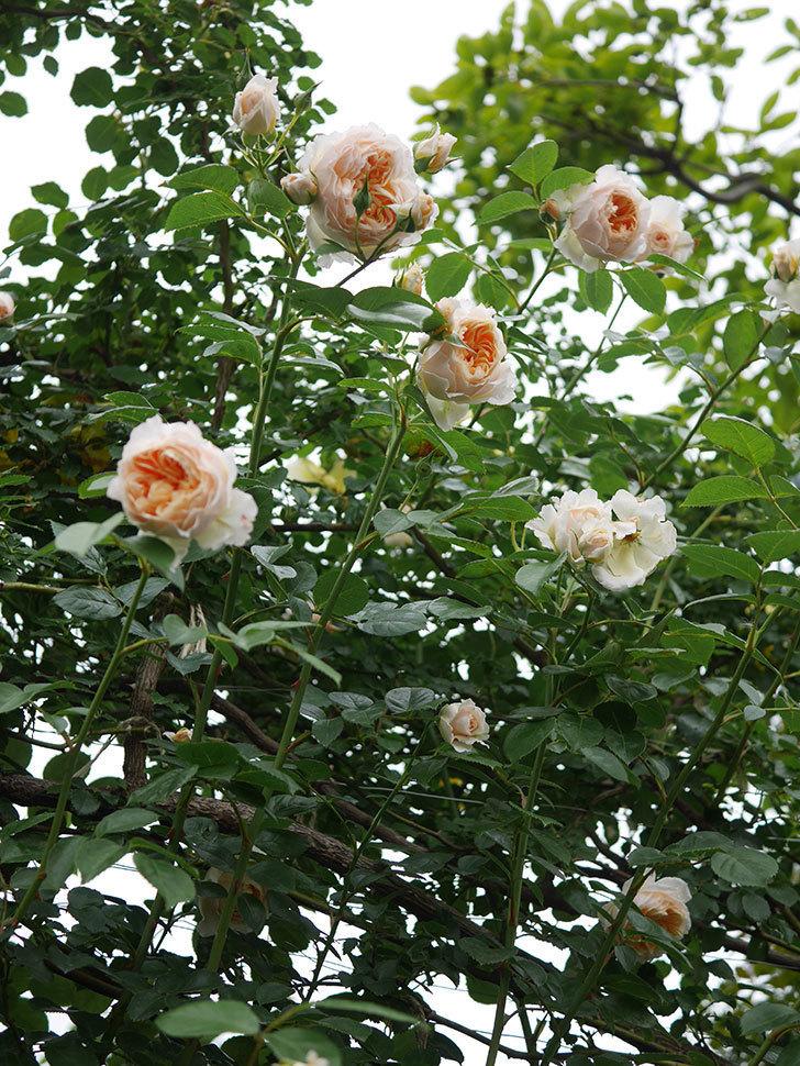 ジンジャー・シラバブ(Ginger Syllabub)の花が満開になった。ツルバラ。2020年-067.jpg
