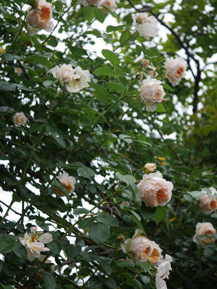 ジンジャー・シラバブ(Ginger Syllabub)の花が満開になった。ツルバラ。2020年-068.jpg